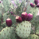 Cactus Fruit 2 prickly pair